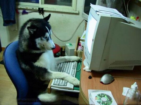 Chien geek : un husky informaticien assis sagement devant son pc - geek dog un husky informaticien assis sagement devant son ordinateur