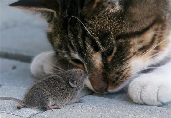L'image d'avant Un-chat-et-une-souris-trop-mignons