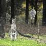 Evasion d un kangourou. Fallait s y attendre ...